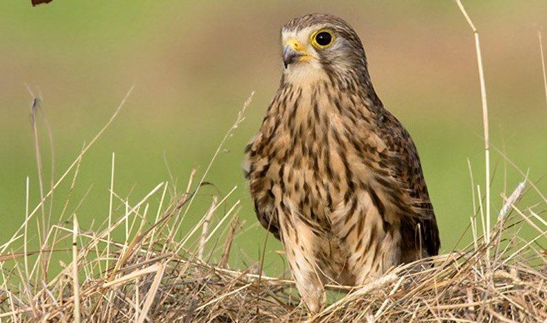 درمان و رهاسازی یک پرنده دلیجه در زیستگاه های نایین