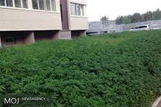 شناسایی و معدومسازی دو مزرعه ماریجوانا در شهرستان نظرآباد