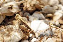 هشدار درباره طغیان ملخهای صحرایی در روزهای آینده
