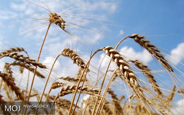 خرید تضمینی یک میلیون و ۲۴۳ هزار تن گندم در گلستان