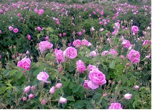 پیش بینی برداشت 250 تن گل محمدی در شهرستان فریدن