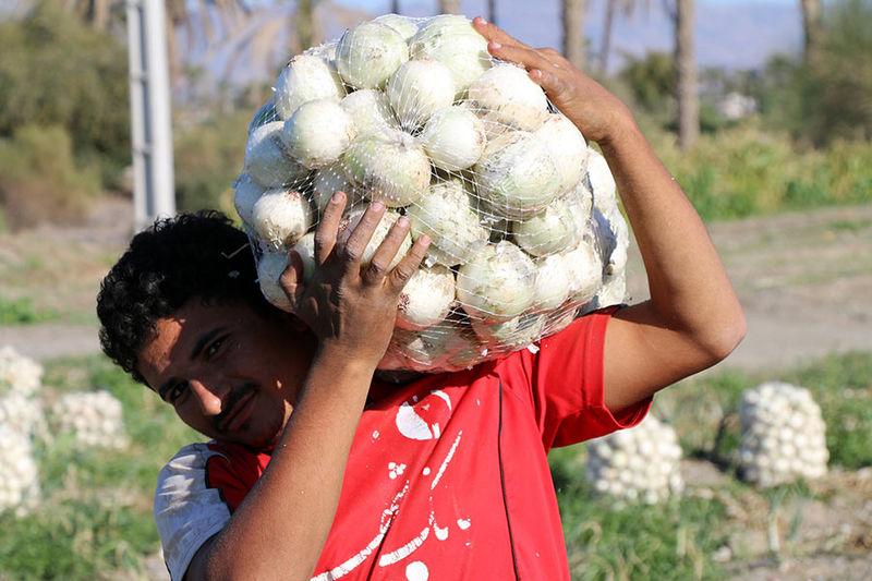 برداشت نخستین پیاز در زمین های کشاورزی میاندورود آغاز شد