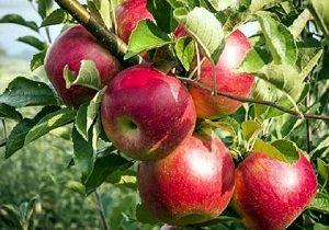 پیش بینی تولید 51 تن سیب از باغات کرمانشاه