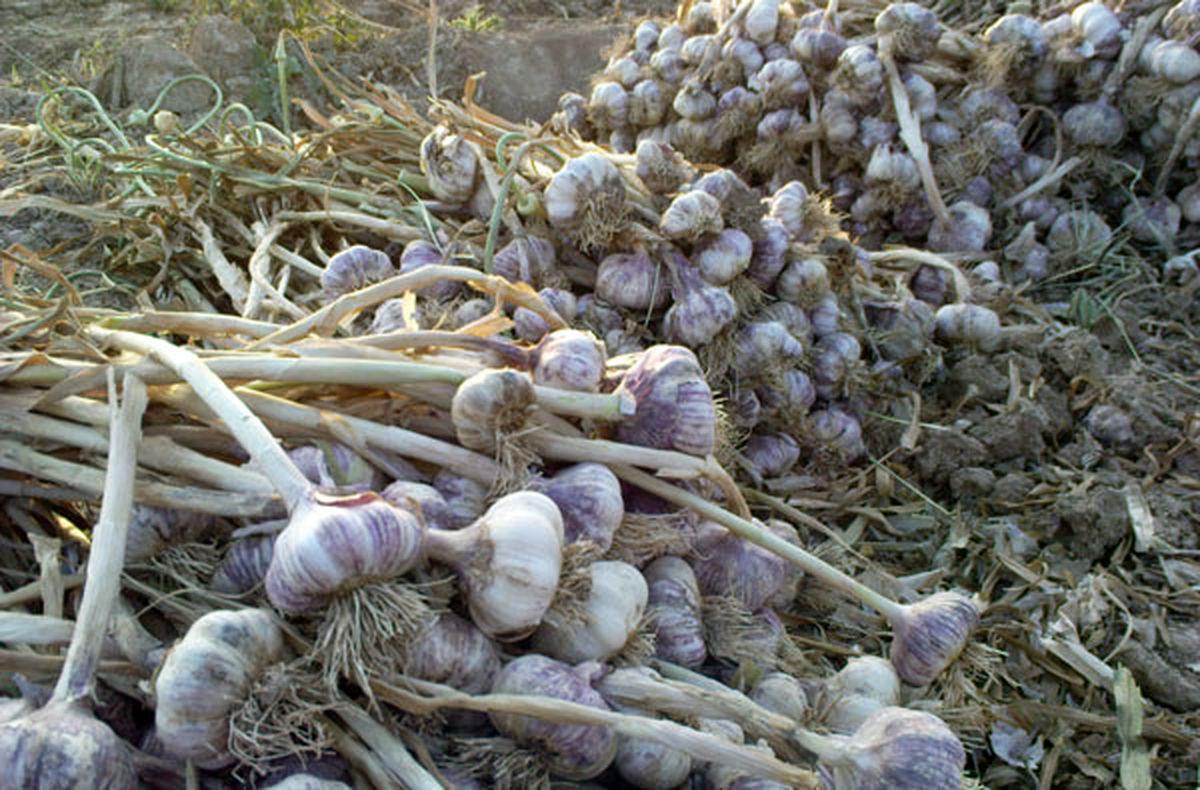 پیش بینی برداشت 550 تن سیر از مزارع شهرستان خمینی شهر