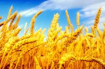 کاهش قیمت گندم در بازارهای جهانی
