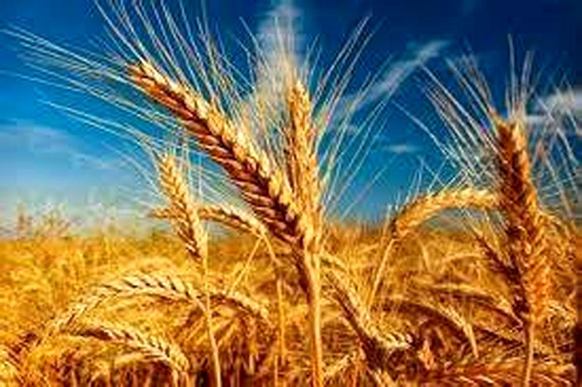 ۱۱ هزار تن گندم در اردبیل خریداری شده است