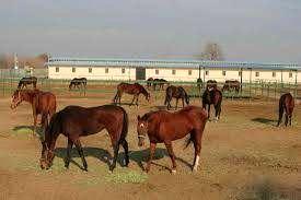 ایجاد ۱۰۷ واحد پرورش اسب در اردکان آغاز شد