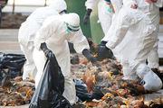 آنفولانزای مرغی میتواند باعث جهش ویروس ها و بیماری ها در انسان شود/ شباهت عجیب ویروس آنفولانزای مرغی به کرونا!