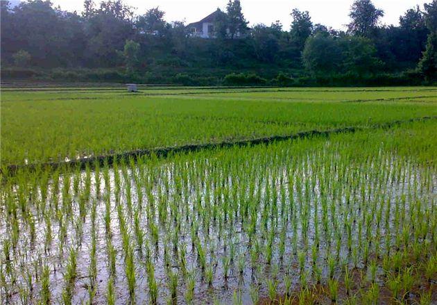 کاهش چشمگیر کشت برنج در استان اصفهان