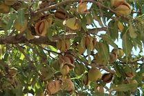 پیش بینی برداشت 2 تن بادام در شهرستان خوانسار