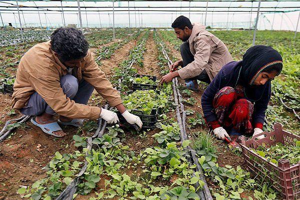 ۲۶ درصد اشتغال استان را بخش کشاورزی بر عهده دارد