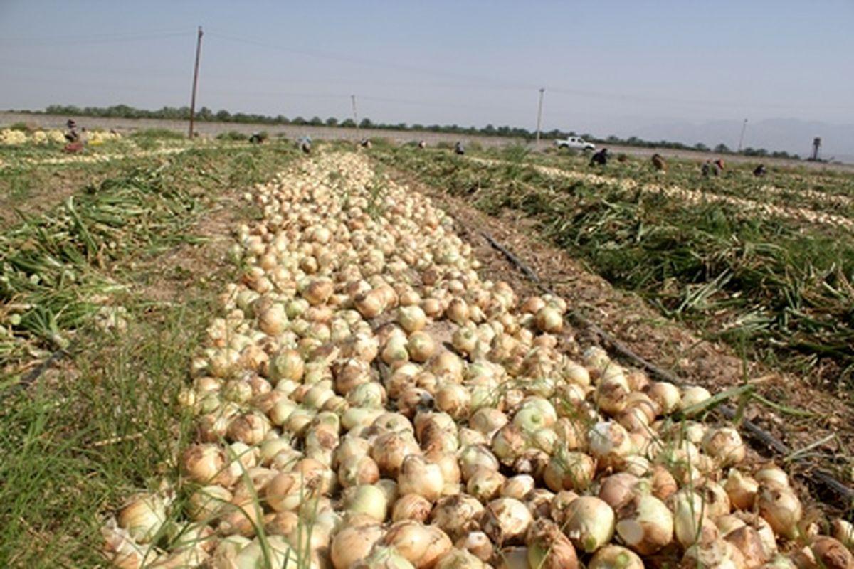 آغاز برداشت پیاز از 35 هکتار از مزارع در نطنز