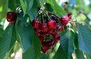 ۴۱ هزار تن میوه در چهارمحال و بختیاری تولید شد