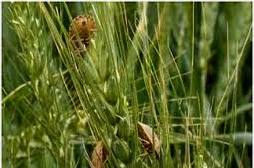 مبارزه با آفت سن غلات در مزارع گندم و جو استان اصفهان