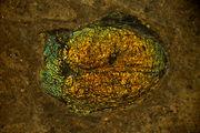 قدیمی ترین فسیل ملخ جهان کشف شد