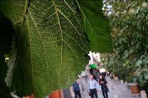 احتمال هجوم سفید بالک ها به تهران از اواخر مرداد ماه/کاشت گونه جدیدی از درختان برای مقابله با مگس سفید