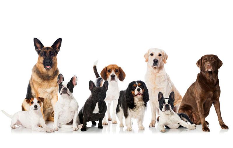 بهترین نژاد های سگ خانگی چیست؟/کدام نژاد سگ مناسب آپارتمان است؟