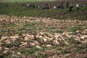 بیش از 7 هزار از اراضی استان به کشت چغندرقند تعلق گرفته است