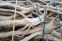 دستگیری 2 قاچاقچی چوب تاغ در آران و بیدگل/ توقیف 300 کیلوگرم چوب تاغ قاچاق