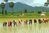 برداشت برنج سفید شالیزارهای آمل افزایش یافت