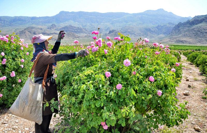 آغاز برداشت گل محمدی در مازندران