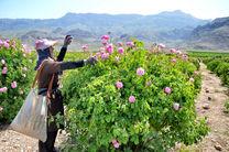 گل محمدی فارس؛ با برندسازی مناسب وارد بازار جهانی شود
