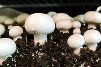 مردم به شایعات فضای مجازی توجه نکنند/قارچهای خوراکی تولیدی زیر نظر جهاد کشاورزی سالم است