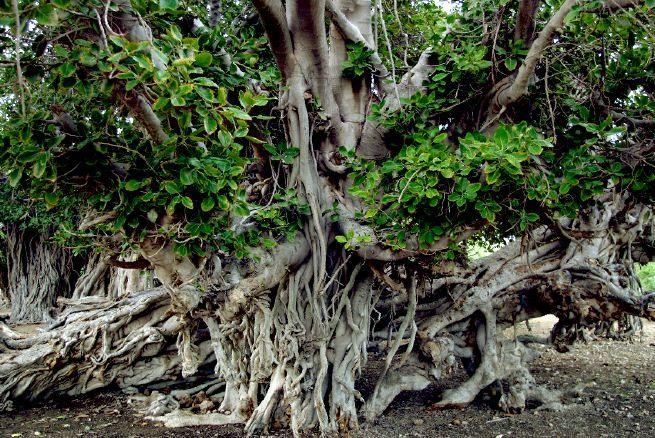 شناسایی درخت انجیر معابد۳۰۰ ساله در میناب