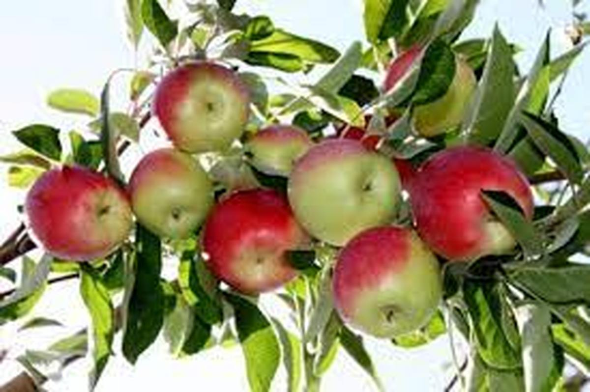 پیشبینی برداشت بیش از 15 هزار تن انواع سیب گلاب در اصفهان