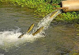 هشدار آب منطقه ای مازندران به پرورش دهندگان آبزی پروری