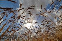 وضعیت مزارع گندم تا این لحظه بسیار عالی است