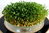 آمادگی شهرداری اصفهان برای بازیافت سبزههای عید