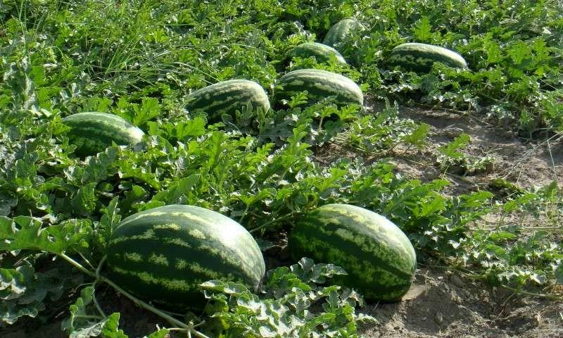 کشت هندوانه شب یلدا در سه هزار 500 هکتار از مزارع میناب