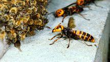 حمله زنبورها ها جان یک مرد اندیمشکی را گرفت