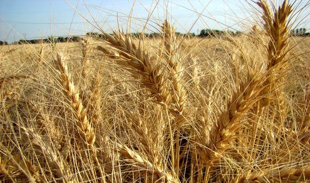 خرید ۱۷۲ هزار تن گندم در ۳۱ مرکز خراسان رضوی