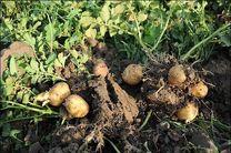 پایان کشت سیب زمینی در مزارع بخش رودخانه