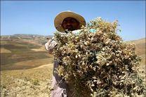 پیشبینی برداشت 9600 تن نخود پاییزه در اراضی کرمانشاه