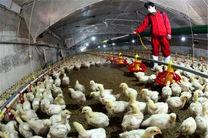 یک  هزار و 50 تن  گوشت سفید در قائم شهر تولید شد
