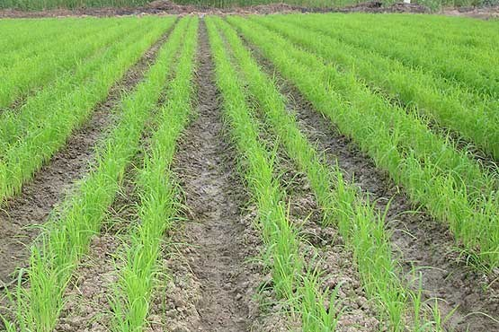 کشت برنج به روش خشکه کاری در شوش انجام شد