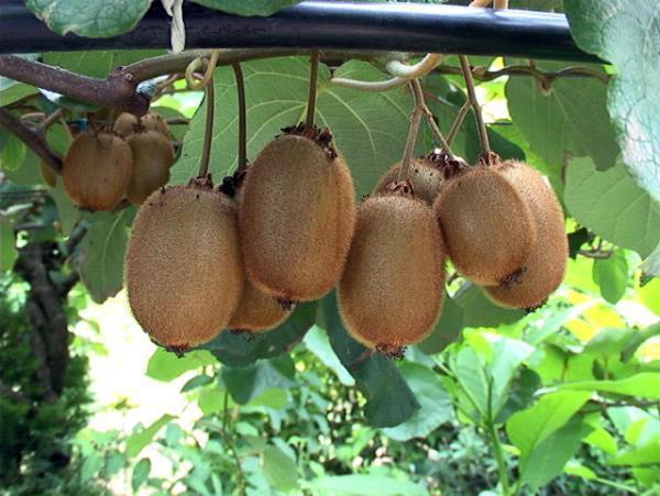 صادرات کیوی عباس آباد 245 هزار دلار ارز آوری برای کشور داشت