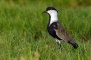 خروس بال سفید سینه سیاه در تالاب گوری بلمک پلدختر مشاهده شد