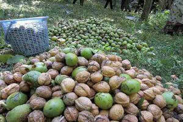 افزایش 60 درصدی برداشت گردو از باغات شهرستان نطنز