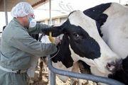 آغاز واکسیناسیون  ۱۵۰ هزار رأس دام سنگین در گیلان