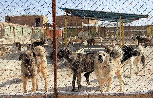 عقیم سازی سگهای بلاصاحب در دستور کار شهرداری رشت است