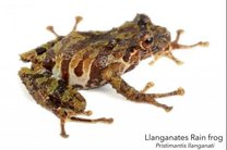 کشف دو گونه جدید قورباغه در اکوادور