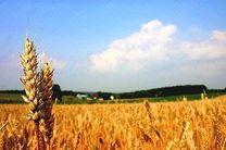 تا کنون 650 هزار تن گندم از کشاورزان خریداری شد