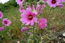 کشت دیم گل ختمی برای نخستین بار در چهارمحال و بختیاری