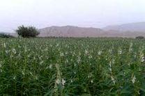 کشت کنجد در بیش از ۹۵ هکتار از زمین های کشاورزی قائم شهر