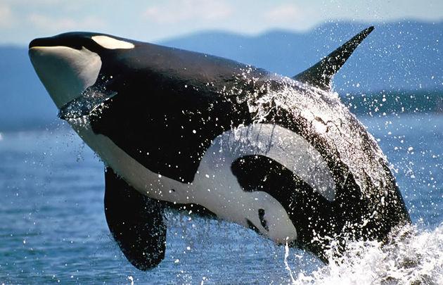 توضیح سازمان محیط زیست در مورد حضور نهنگ قاتل در خلیج فارس