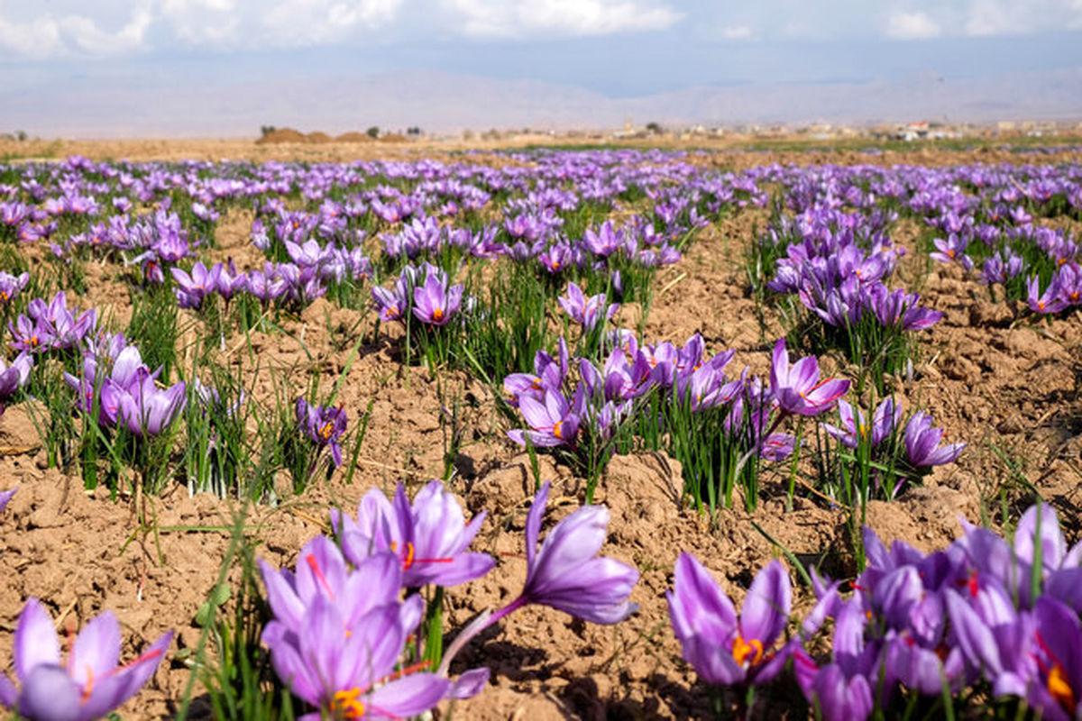 700 خانواده بافقی زعفران می کارند؛ فراوری زعفران حمایت می شود